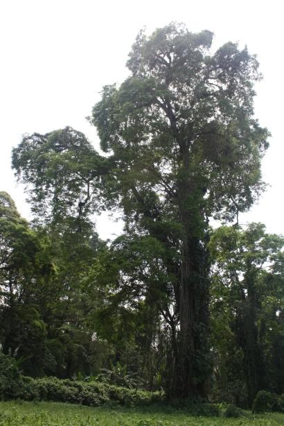 Caribbean trees