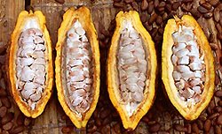 A cacao pod opened. These are the beans that turn into chocolate.